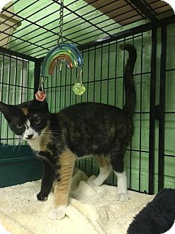Domestic Shorthair Kitten for adoption in Bloomingdale, New Jersey - JoJo