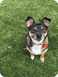 Chihuahua/Terrier (Unknown Type, Medium) Mix Dog for adoption in Brighton, Tennessee - Carson (Fostered in New England)