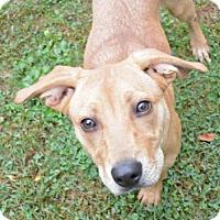 Labrador Retriever/Shepherd (Unknown Type) Mix Dog for adoption in Media, Pennsylvania - Gigi