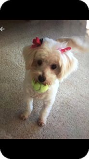 Lhasa Apso/Westie, West Highland White Terrier Mix Dog for adoption in Hollywood, California - Maggie