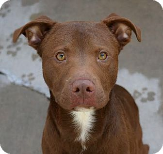 Pit Bull Terrier Mix Dog for adoption in Pontiac, Michigan - Rocko