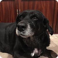 Adopt A Pet :: Labby Girl - Yorktown, VA