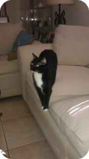 Domestic Shorthair Cat for adoption in Bonita Springs, Florida - Judy