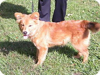 "Chow Chow Mix Dog for adoption in New Castle, Pennsylvania - "" Sienna """