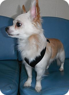 Chihuahua Mix Dog for adoption in Jackson, Michigan - Buddy