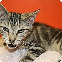 Domestic Shorthair Kitten for adoption in SILVER SPRING, Maryland - JILL