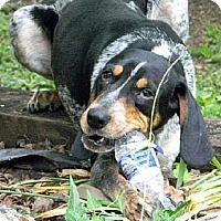 Adopt A Pet :: Hank - Dallas, TX