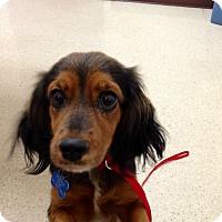 Adopt A Pet :: CINNAMON - Tacoma, WA