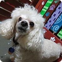 Adopt A Pet :: Shammy - Meridian, ID