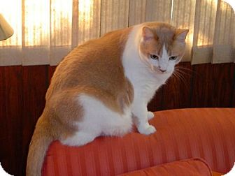 American Shorthair Cat for adoption in Land O Lakes, Florida - Anthony
