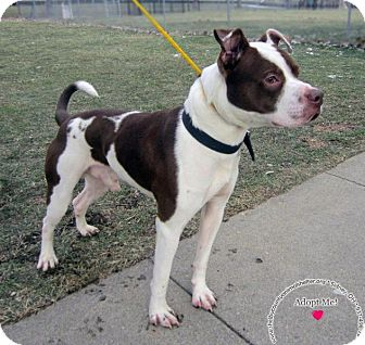 Pit Bull Terrier Mix Dog for adoption in Sidney, Ohio - Bandit