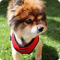 Adopt A Pet :: Merlot - Las Vegas, NV