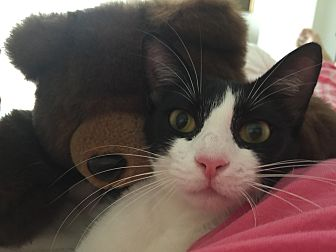 Domestic Shorthair Cat for adoption in Sunny Isles Beach, Florida - Nina
