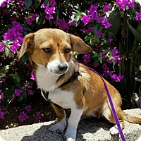 Adopt A Pet :: Millie - Costa Mesa, CA