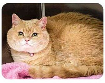 British Shorthair Cat for adoption in Gilbert, Arizona - Pepper
