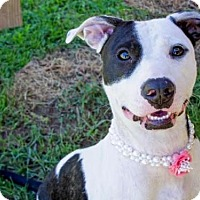 Pit Bull Terrier Mix Puppy for adoption in Millersville, Maryland - Kaylee