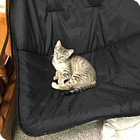 Domestic Shorthair Kitten for adoption in Columbus, Ohio - Goldie
