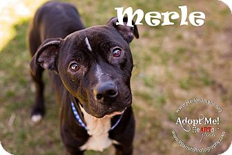 American Staffordshire Terrier Mix Dog for adoption in Ringwood, New Jersey - Merle