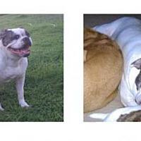Adopt A Pet :: Lady Bug 9 Year Old Nanny Dog! - Rowayton, CT