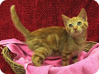 Domestic Shorthair Kitten for adoption in Redwood Falls, Minnesota - Spice