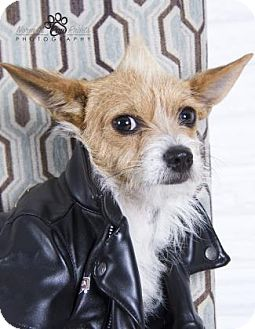 Terrier (Unknown Type, Small) Mix Puppy for adoption in Santa Fe, Texas - Buster G.