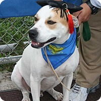 Pit Bull Terrier Mix Dog for adoption in San Angelo, Texas - Lucky