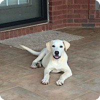 Labrador Retriever Mix Puppy for adoption in Manchester, New Hampshire - Sully
