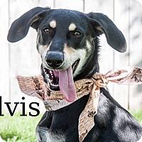 Hound (Unknown Type) Mix Dog for adoption in Hamilton, Montana - Elvis