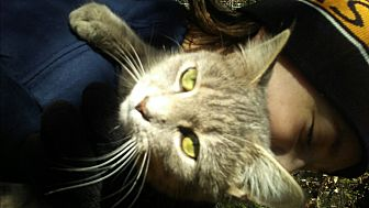 Domestic Shorthair Kitten for adoption in Harmony, North Carolina - Misty