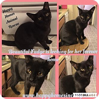 Domestic Shorthair Kitten for adoption in Old Bridge, New Jersey - Fudge