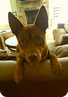 Basenji/Feist Mix Dog for adoption in Beacon, New York - Duke