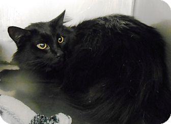 Domestic Longhair Cat for adoption in Redding, California - Midnight