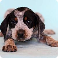 Adopt A Pet :: Cecil - Waldorf, MD