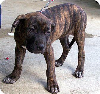 White Boxer Mastiff Mix Mastiff/boxer mix puppy for