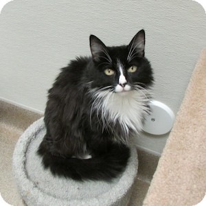 Domestic Mediumhair Cat for adoption in Gilbert, Arizona - Amy
