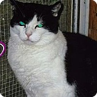 Domestic Shorthair Cat for adoption in Huntington, New York - Pat