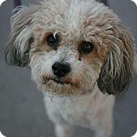 Adopt A Pet :: Keller-Yorkipoo! - Canoga Park, CA