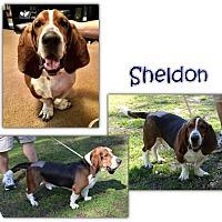 Adopt A Pet :: Sheldon - Marietta, GA