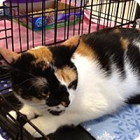 Calico Cat for adoption in Houston, Texas - Mandy 3