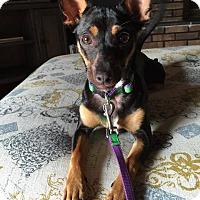 Adopt A Pet :: Sofi - Warsaw, IN