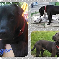 Adopt A Pet :: Dodger - DOVER, OH