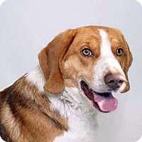 Adopt A Pet :: Copper - Sudbury, MA
