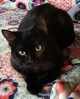 Domestic Mediumhair Cat for adoption in Salisbury, North Carolina - Jaxson