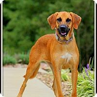 Bloodhound/Labrador Retriever Mix Dog for adoption in Dixon, Kentucky - Annabelle
