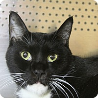 Domestic Shorthair Cat for adoption in Sarasota, Florida - Sylvester