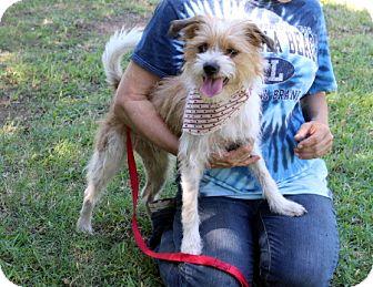Norfolk Terrier/Terrier (Unknown Type, Medium) Mix Dog for adoption in Arlington, Texas - Milo
