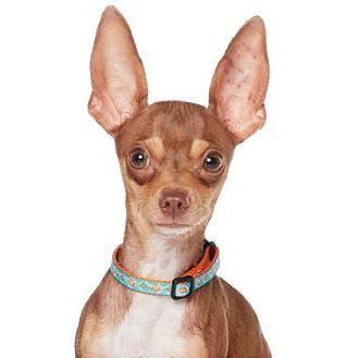 Chihuahua/Miniature Pinscher Mix Dog for adoption in Los Angeles, California - Coco