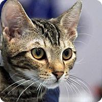 Domestic Shorthair Kitten for adoption in Pico Rivera, California - Munchkin