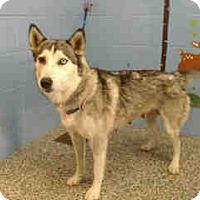 Siberian Husky Dog for adoption in San Bernardino, California - URGENT ON 12/6  San Bernardino