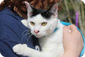 Domestic Shorthair Cat for adoption in Ocean Springs, Mississippi - Maze